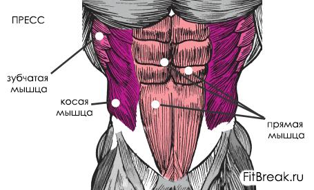 анатомия мышц пресса для мужчин