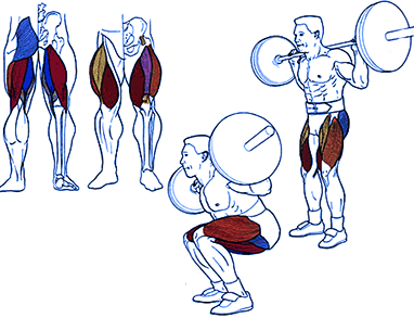 анатомия мышц - приседания со штангой на плечах