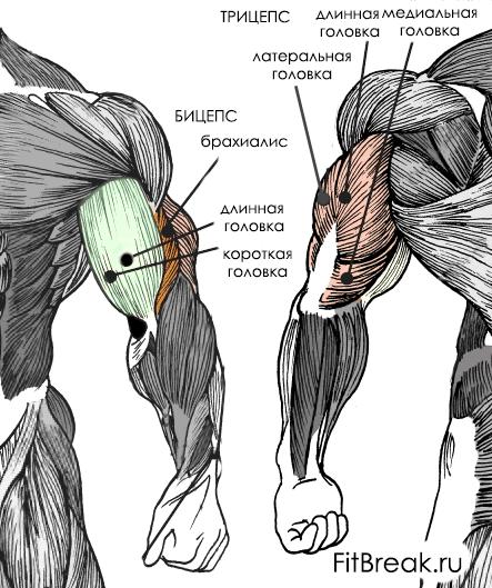 мышцы бицепса и трицепса