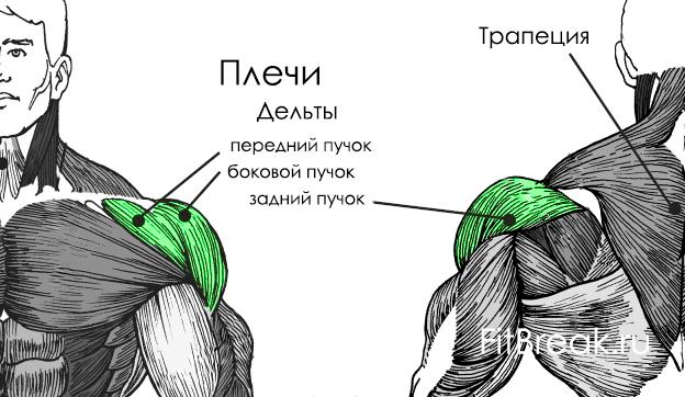 мышцы плеч анатомия