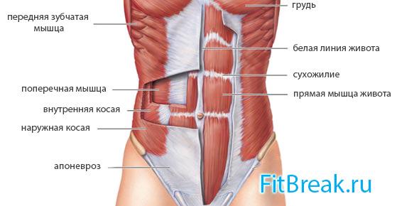 Упражнение вакуум для живота - анатомия мышц пресса